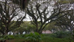 Lokasi dan Harga Tiket Masuk Jawatan Benculuk Banyuwangi, Keindahan Hutan Trembesi Ala Film Fantasi